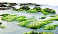 Algen – Rohstoff der Zukunft?